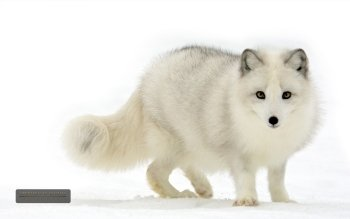 Animal - Arctic Fox Wallpapers and Backgrounds ID : 327882