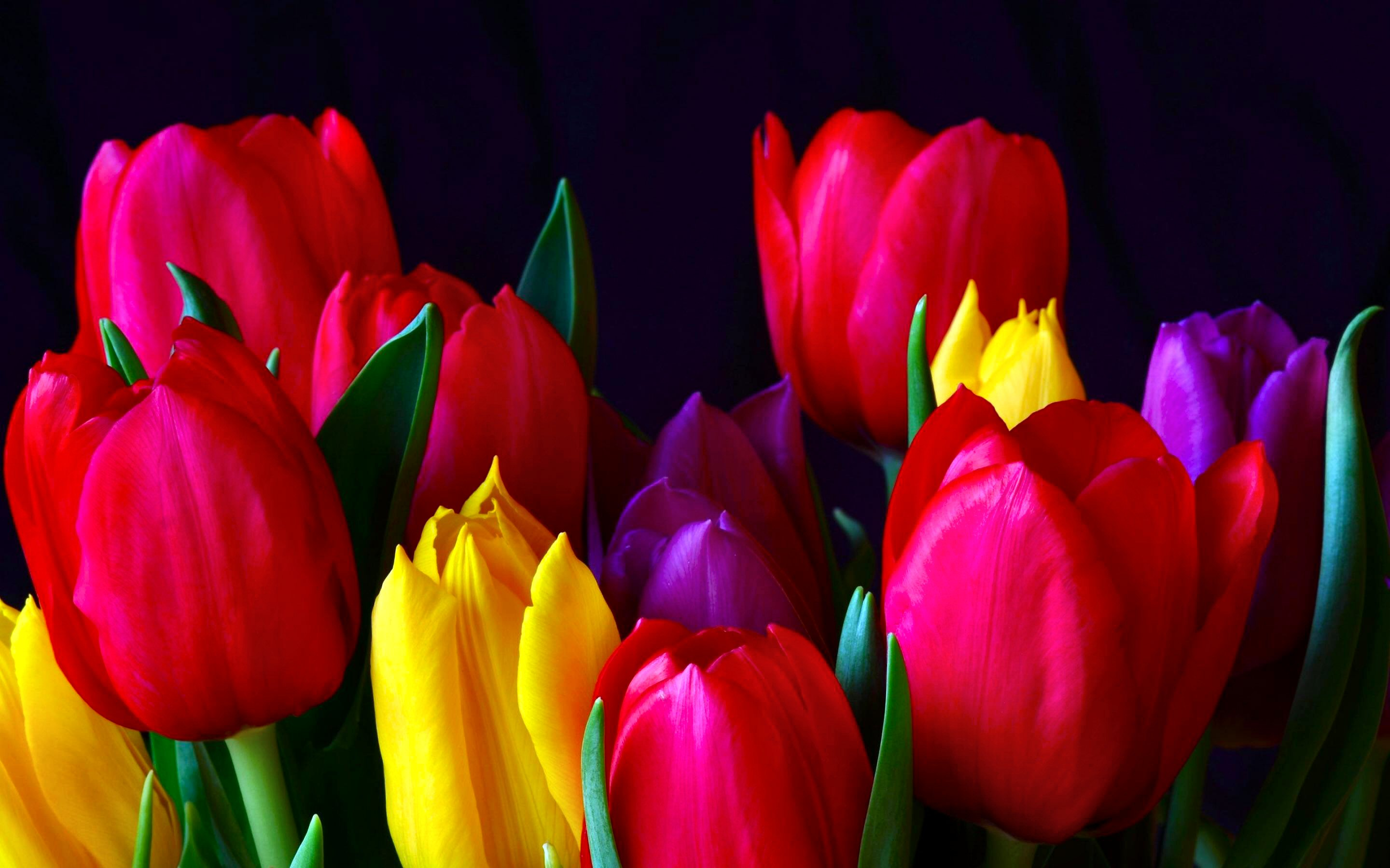 colorful tulip flowers - photo #40
