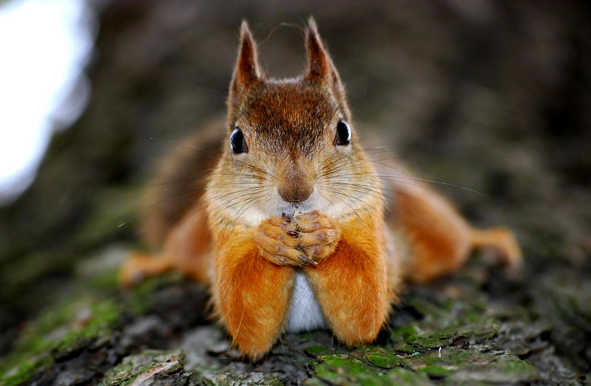 Squirrel computer wallpapers desktop backgrounds - Funny squirrel backgrounds ...