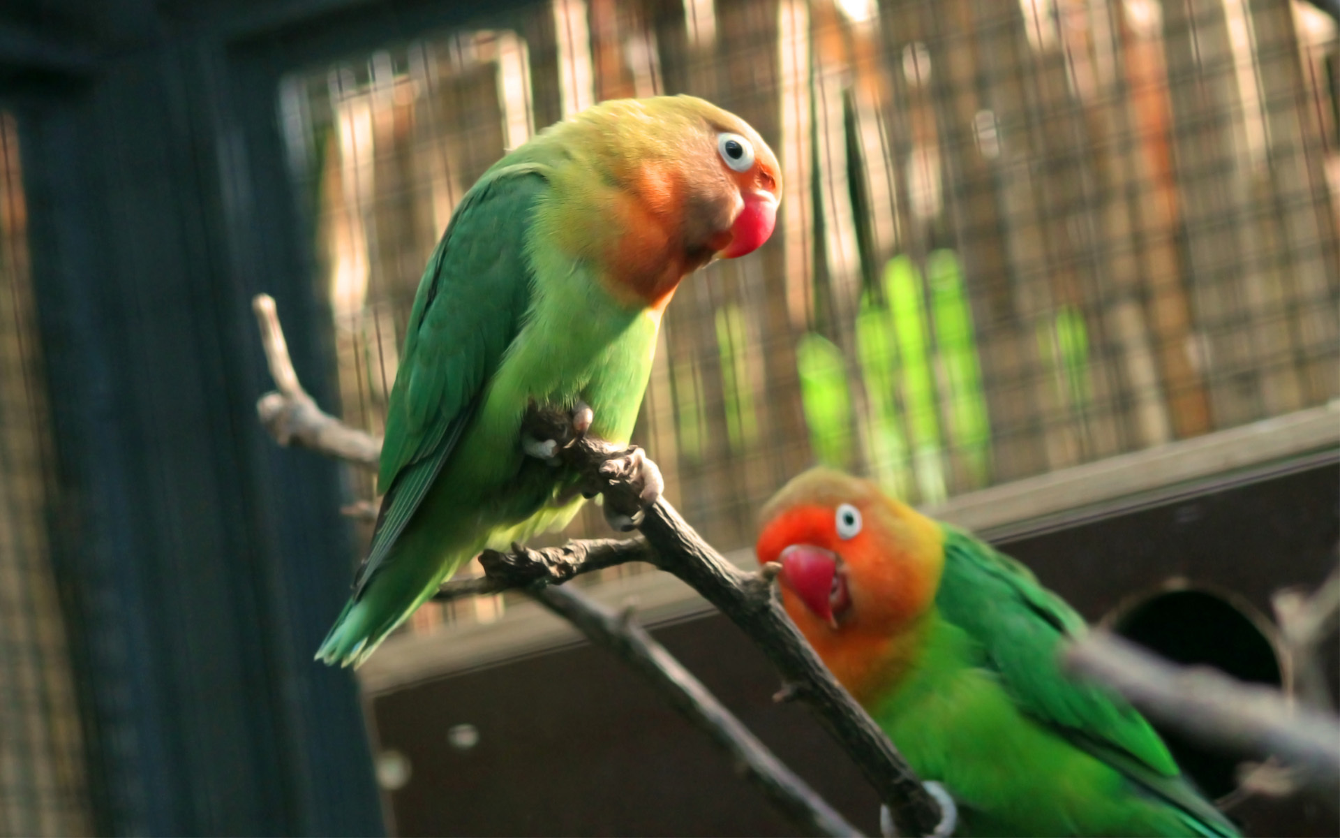 Love Birds couple Wallpaper : Lovebird Full HD Wallpaper and Background 1920x1200 ID:329396