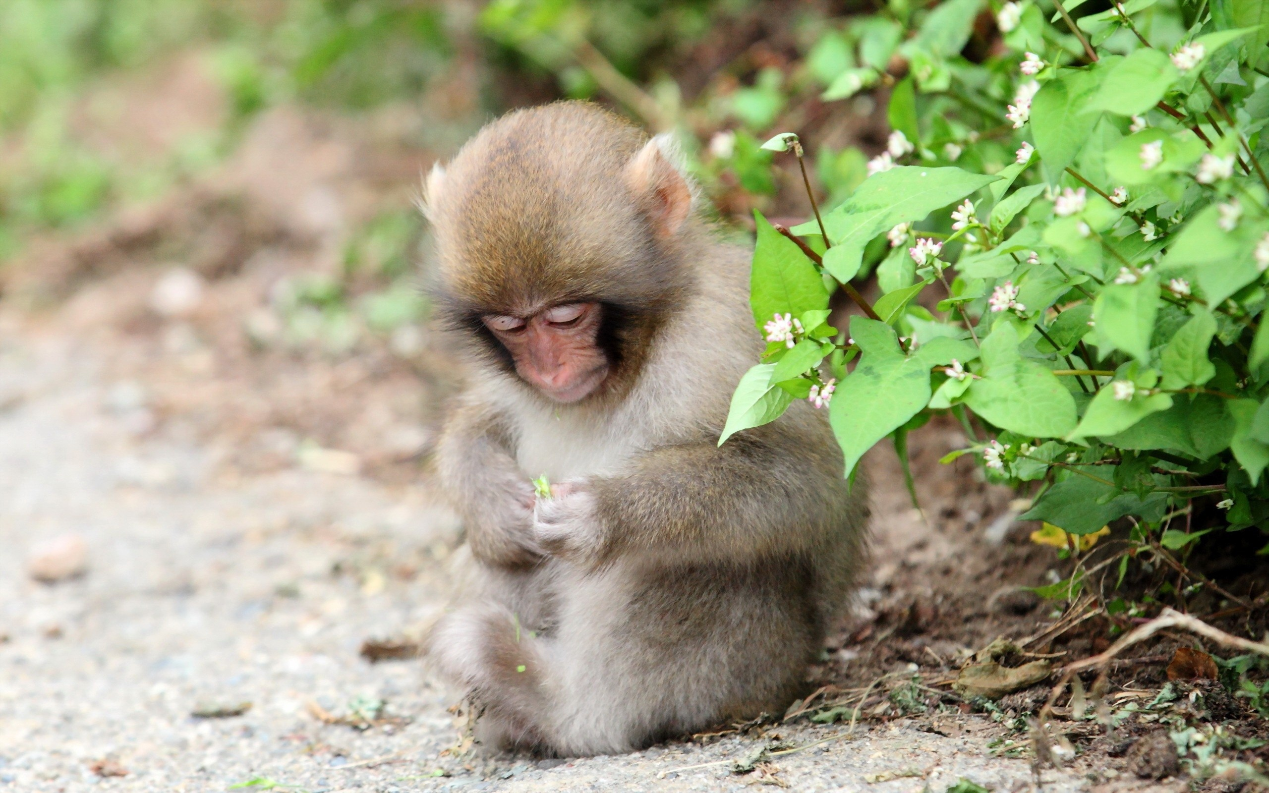 Monkey Full Hd Wallpaper And Background 2560x1600 Id
