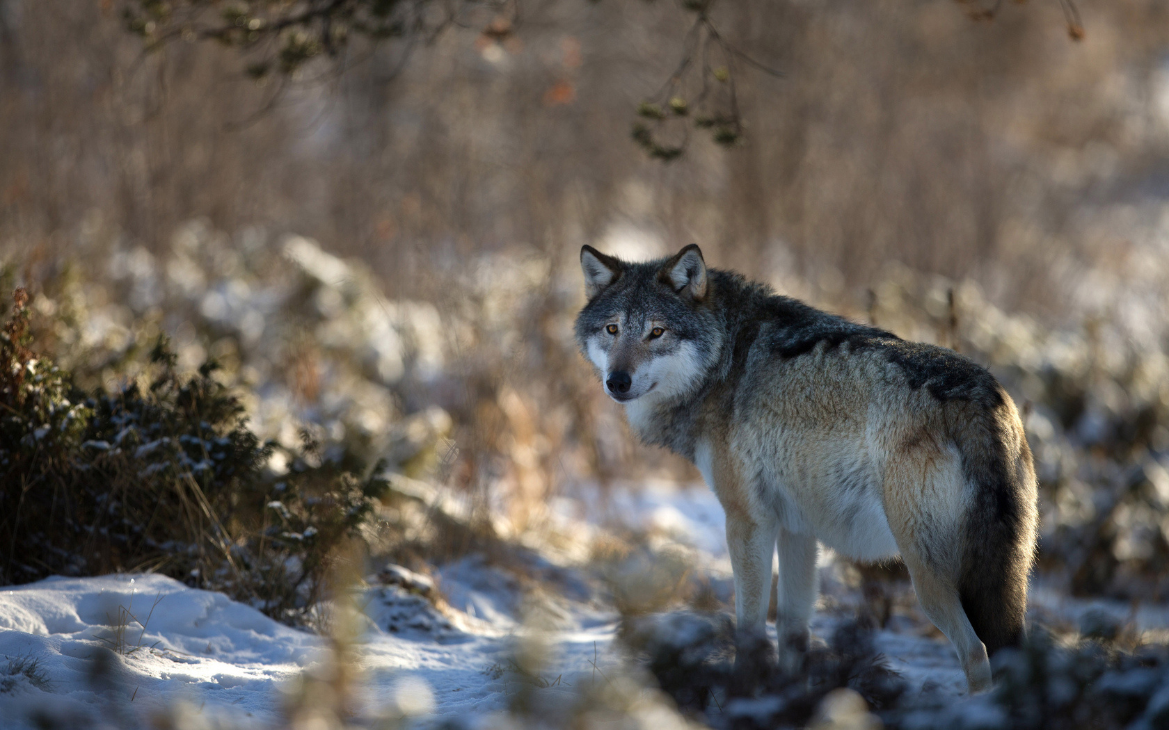 wolf wallpapers ndash animal - photo #3