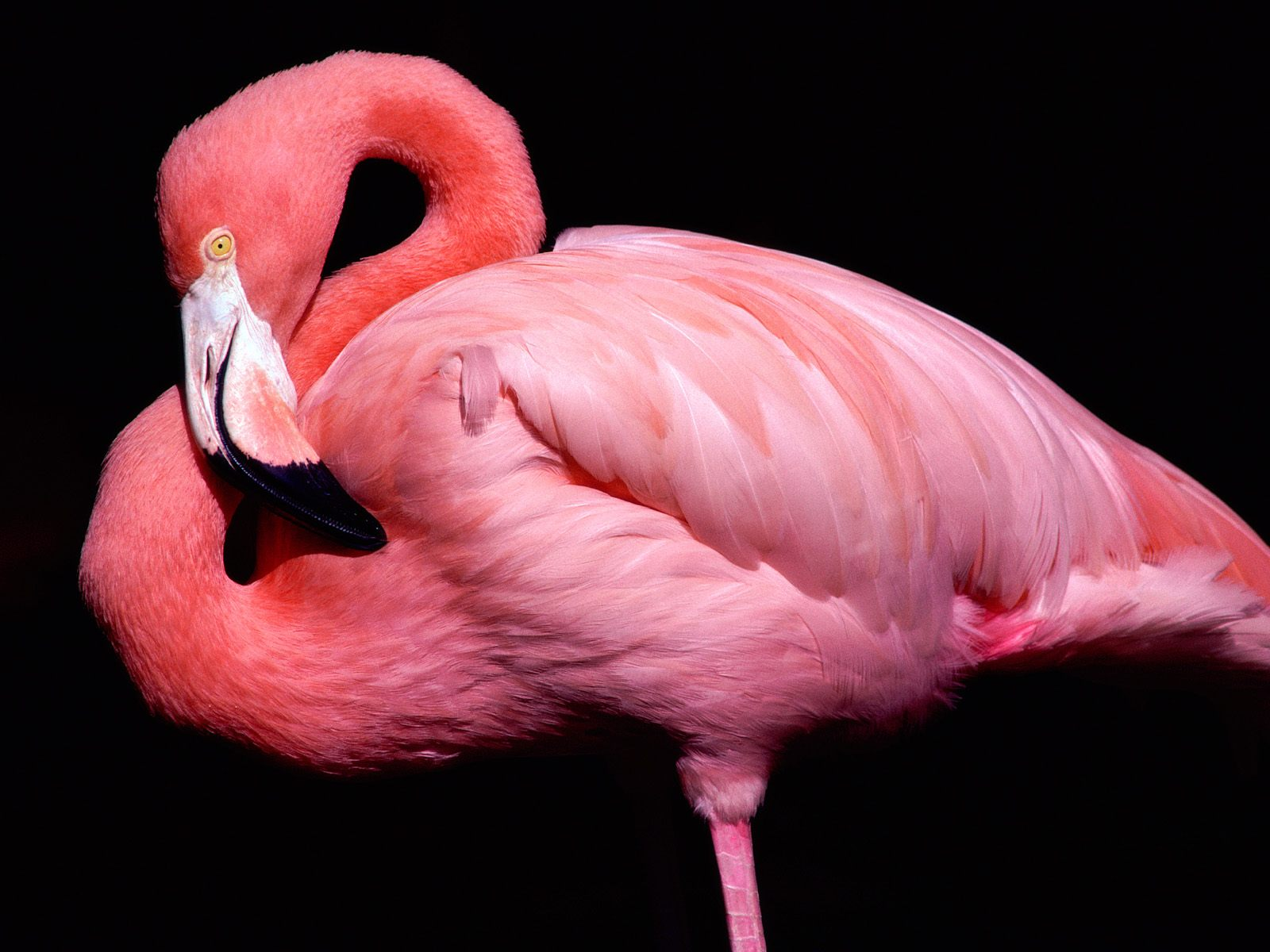139 flamingo hd wallpapers backgrounds wallpaper abyss