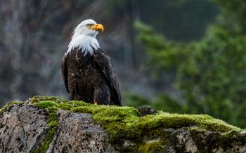 Animal - Eagle Wallpapers and Backgrounds ID : 329657