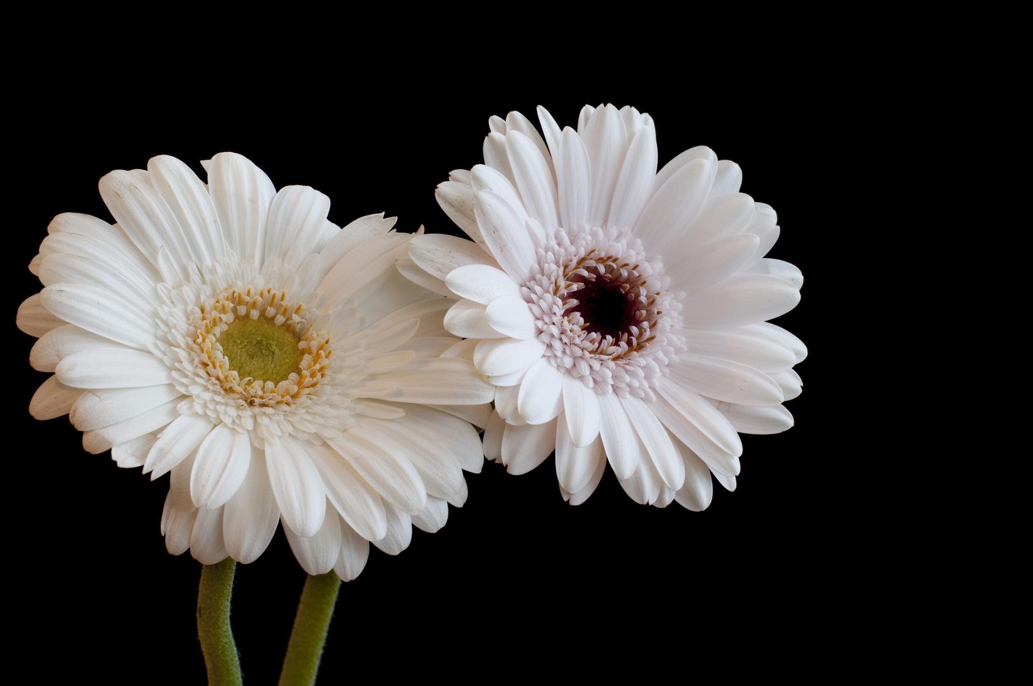 Daisy Flower Black And White Wallpaper 153 Gerbera Fonds d'&#...