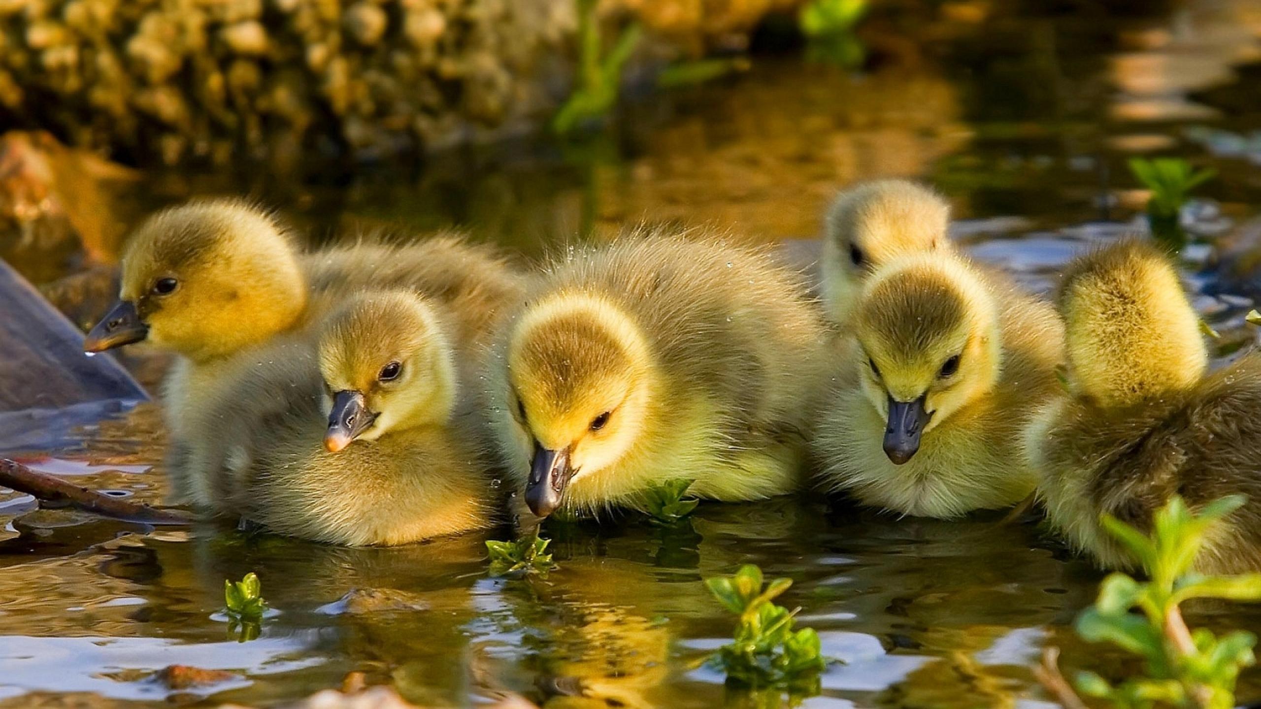 Ducklings HD Wallpaper