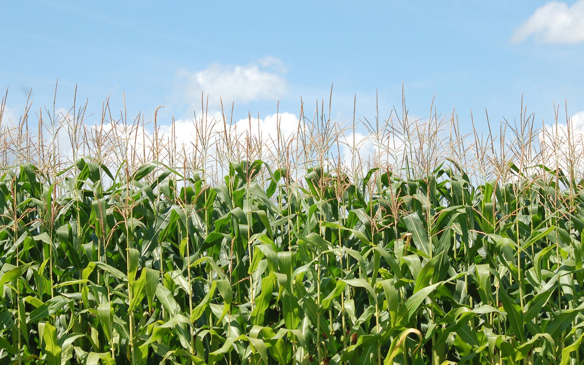 Moril-corn Field HD Wallpaper