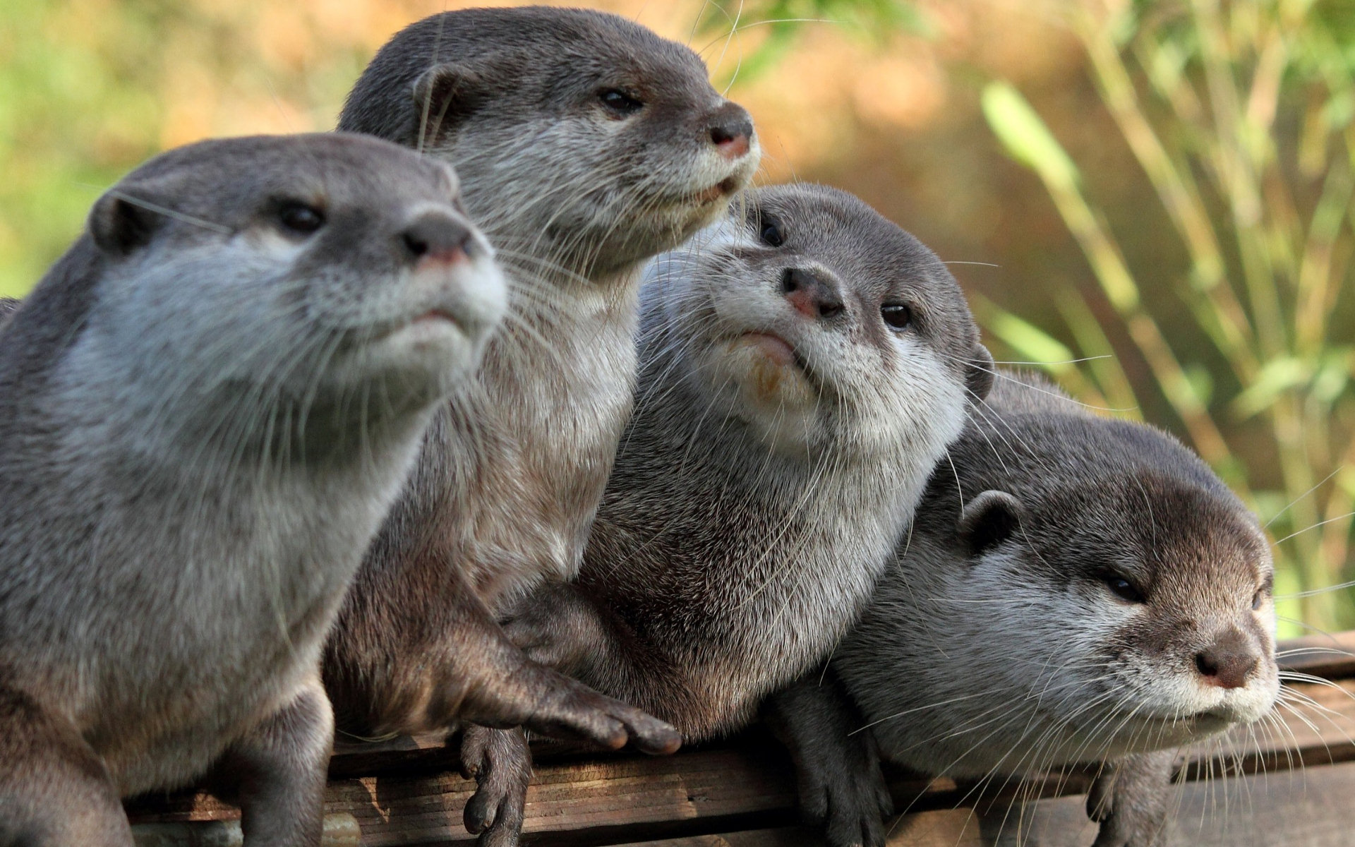 Otters Full Hd Wallpaper And Background 1920x1200 Id
