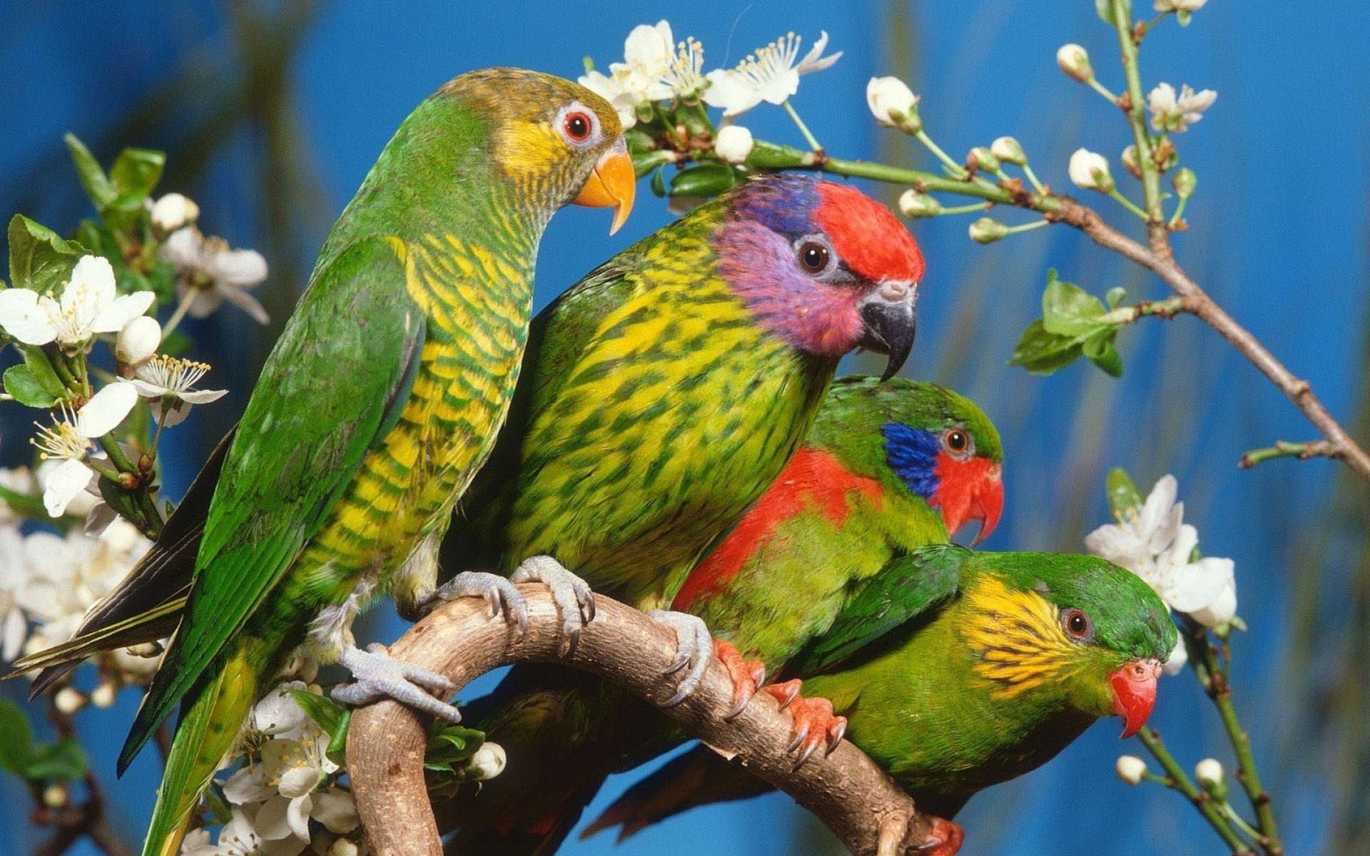Animal - Parrot  Lorikeets Wallpaper