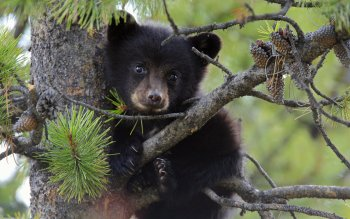 Animal - Bear Wallpapers and Backgrounds ID : 331407