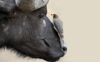 Animal - Buffalo Wallpapers and Backgrounds ID : 331412