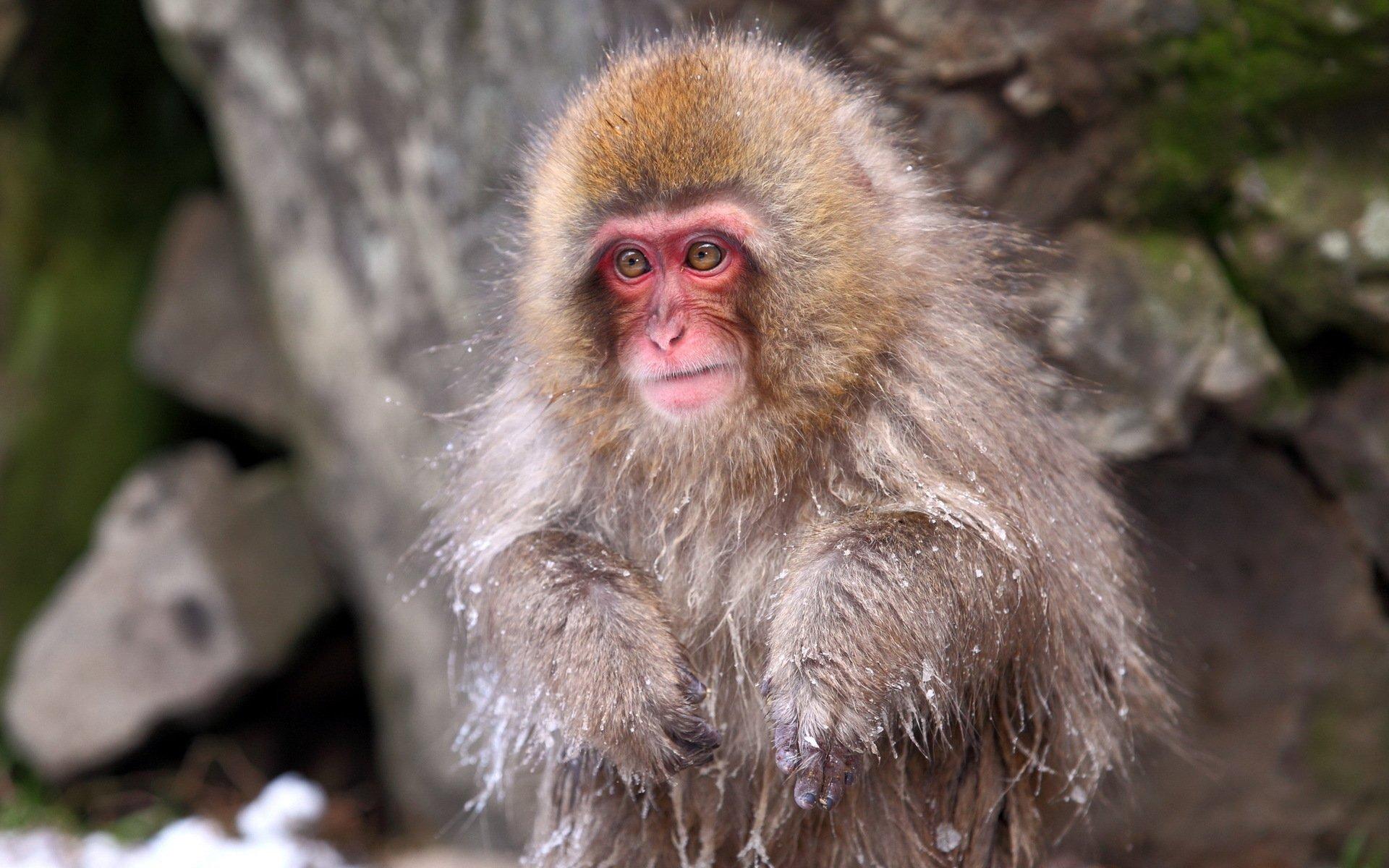Animal - Japanese Macaque  Wallpaper