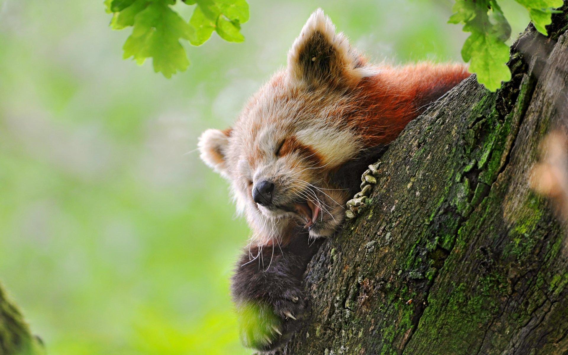 Animal - Red Panda  Wallpaper