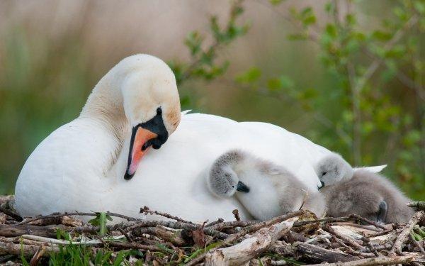 Animal Mute swan Birds Swans Swan Cygnet Cute Love Baby Animal HD Wallpaper | Background Image