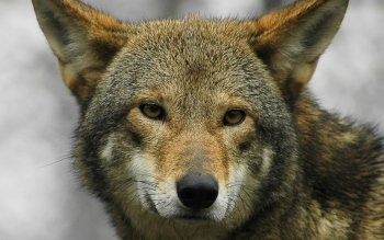 Dierenrijk - Wolf Wallpapers and Backgrounds ID : 335305