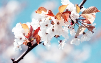 Earth - Blossom Wallpapers and Backgrounds ID : 335421