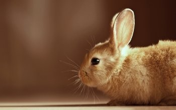 Animal - Rabbit Wallpapers and Backgrounds ID : 336742