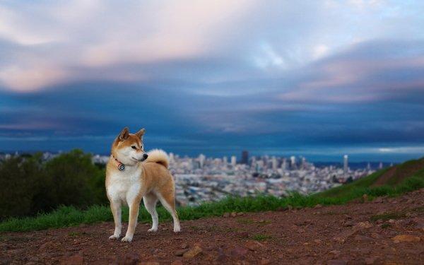 Animal Shiba Inu Dogs Dog HD Wallpaper   Background Image