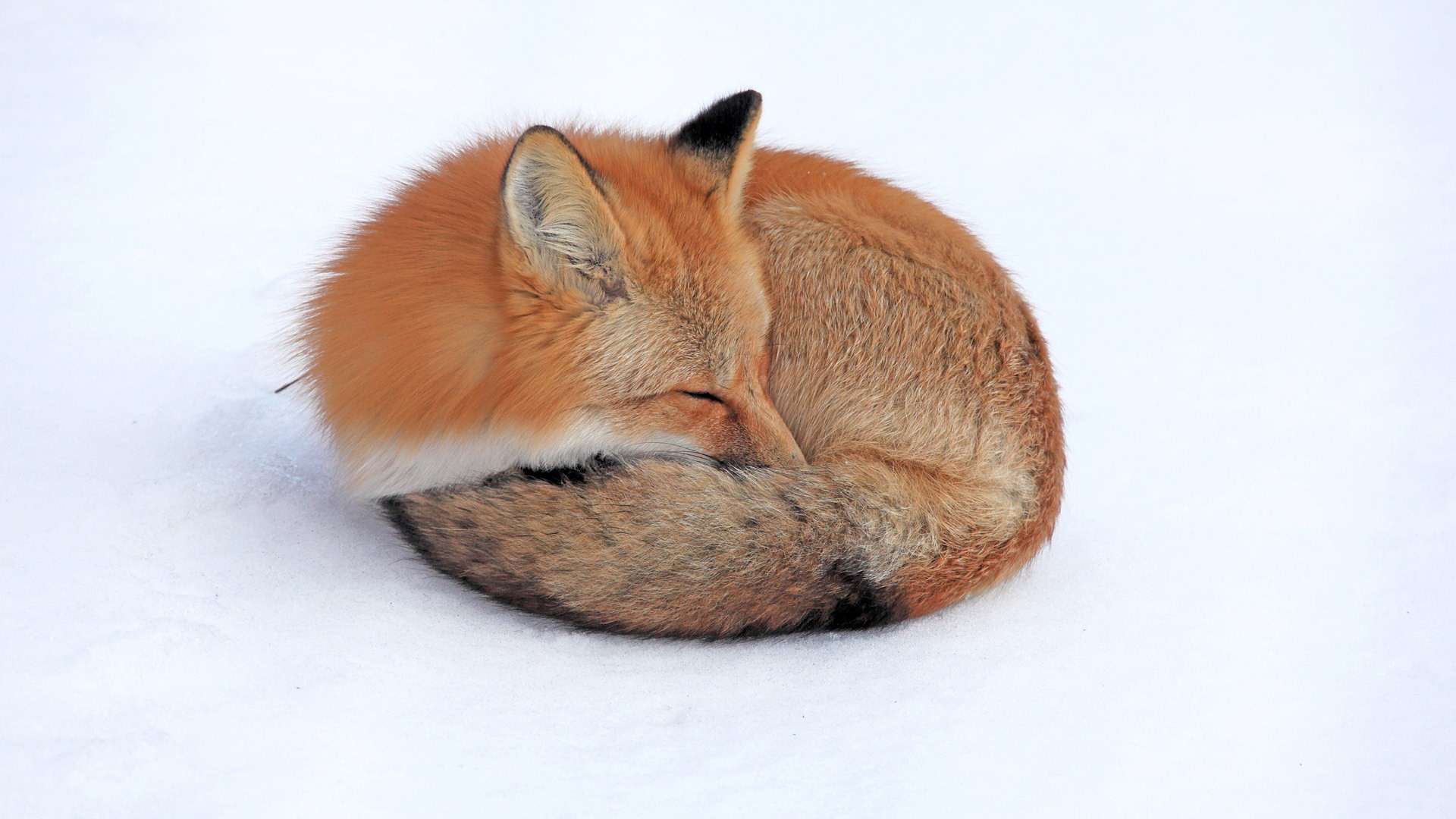 funny wallpaper red fox - photo #18