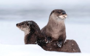 Animal - Otter Wallpapers and Backgrounds ID : 337513