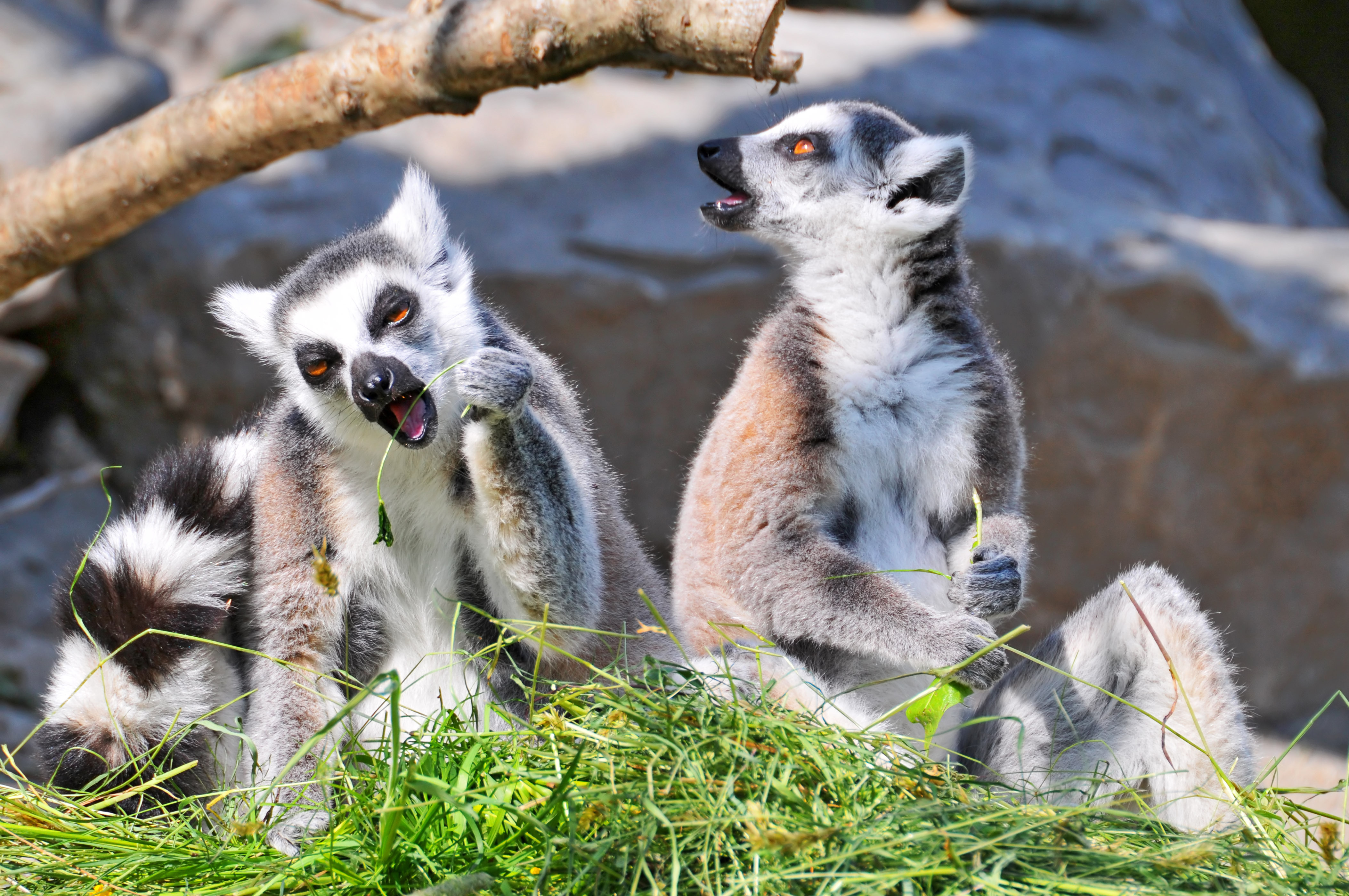 Good Lemur Wallpaper - 338252  Image_496280.jpg
