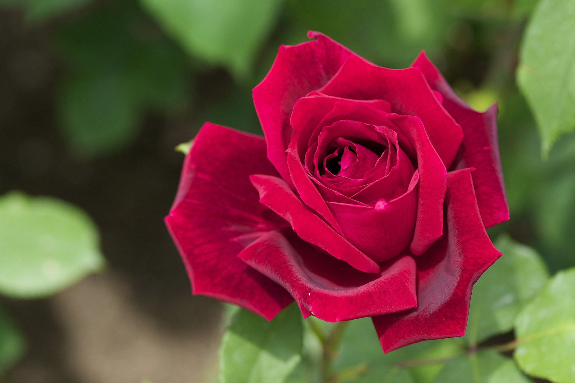 Earth - Rose Flower Red Rose Red Flower Wallpaper