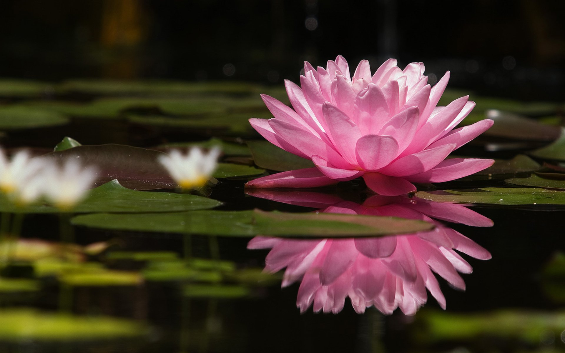 Earth - Water Lily  Lily Pink Flower Reflection Flower Wallpaper