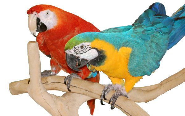Animal Macaw Birds Parrots Bird Parrot Blue-And-Yellow Macaw HD Wallpaper   Background Image