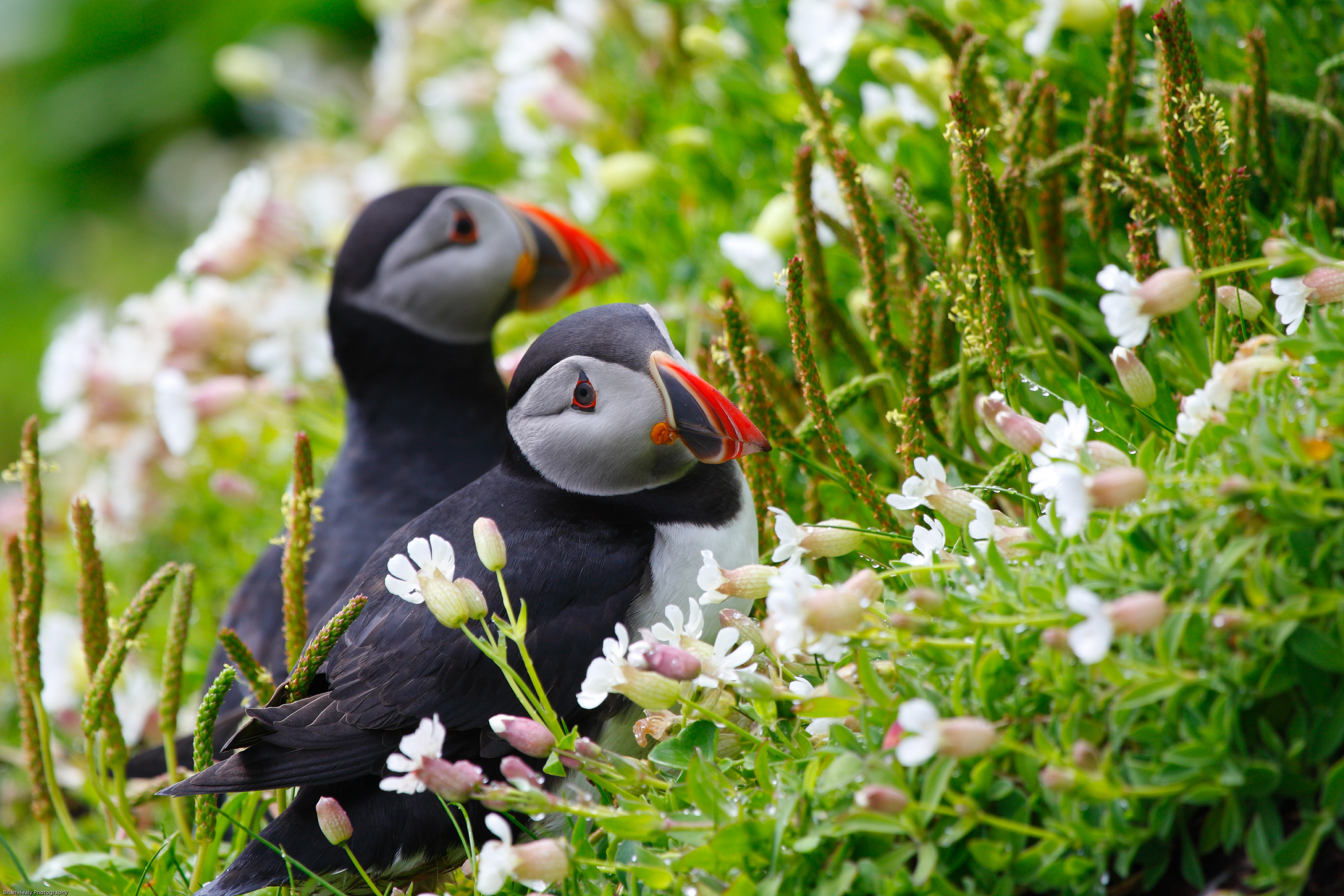 Puffin 4k ultra hd wallpaper and background image - Animal and bird hd wallpaper ...