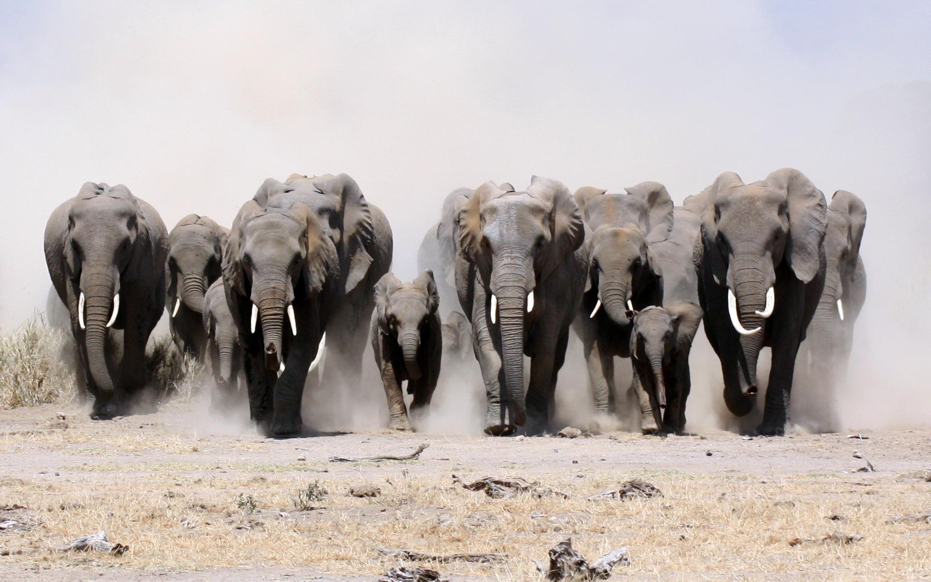 HD Wallpaper  Background ID Elephant Wallpaper