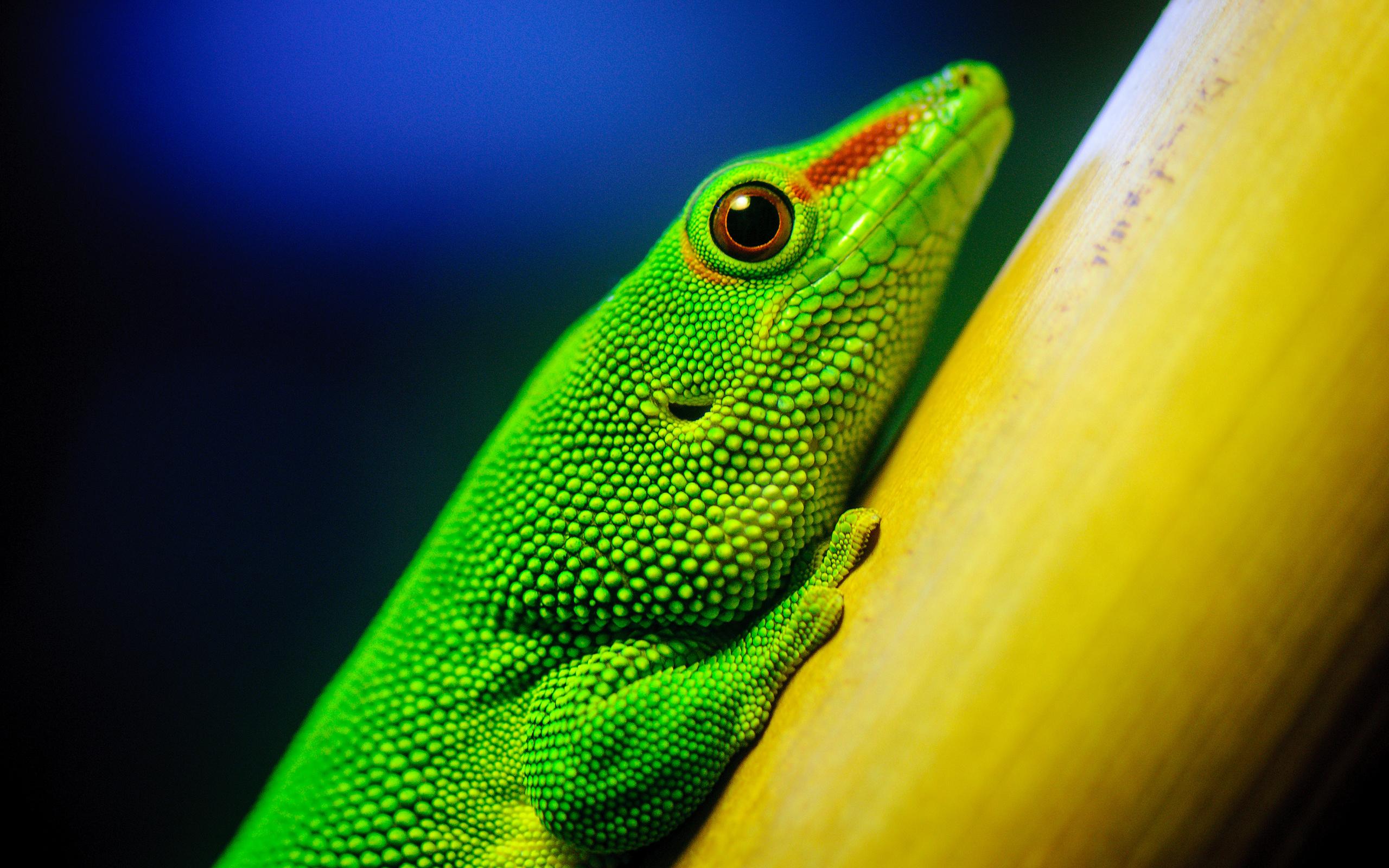 lizard computer wallpapers desktop backgrounds