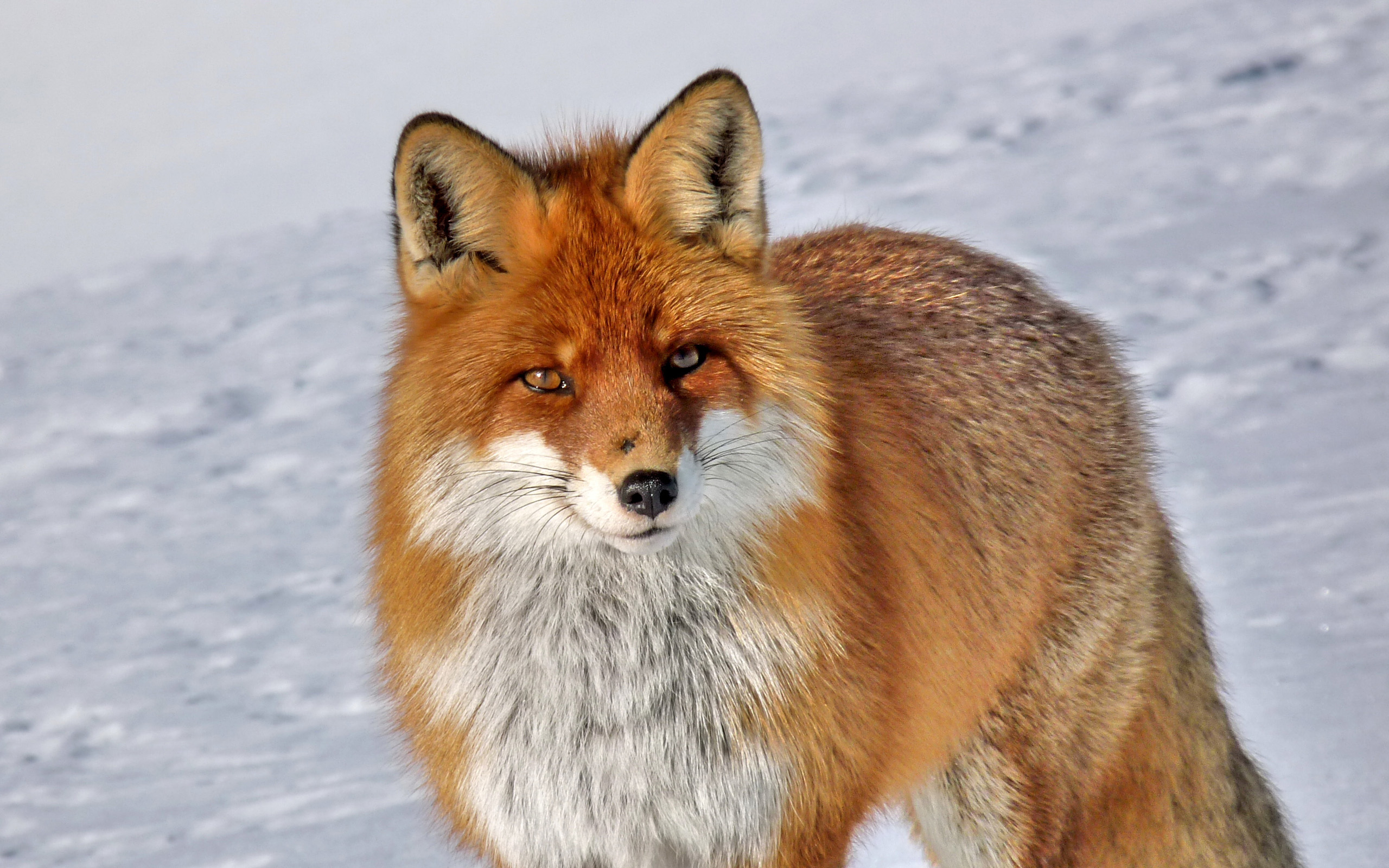 Animals Fox Orange Wallpaper Animal Wallpapers: Backgrounds - Wallpaper Abyss - Page 4