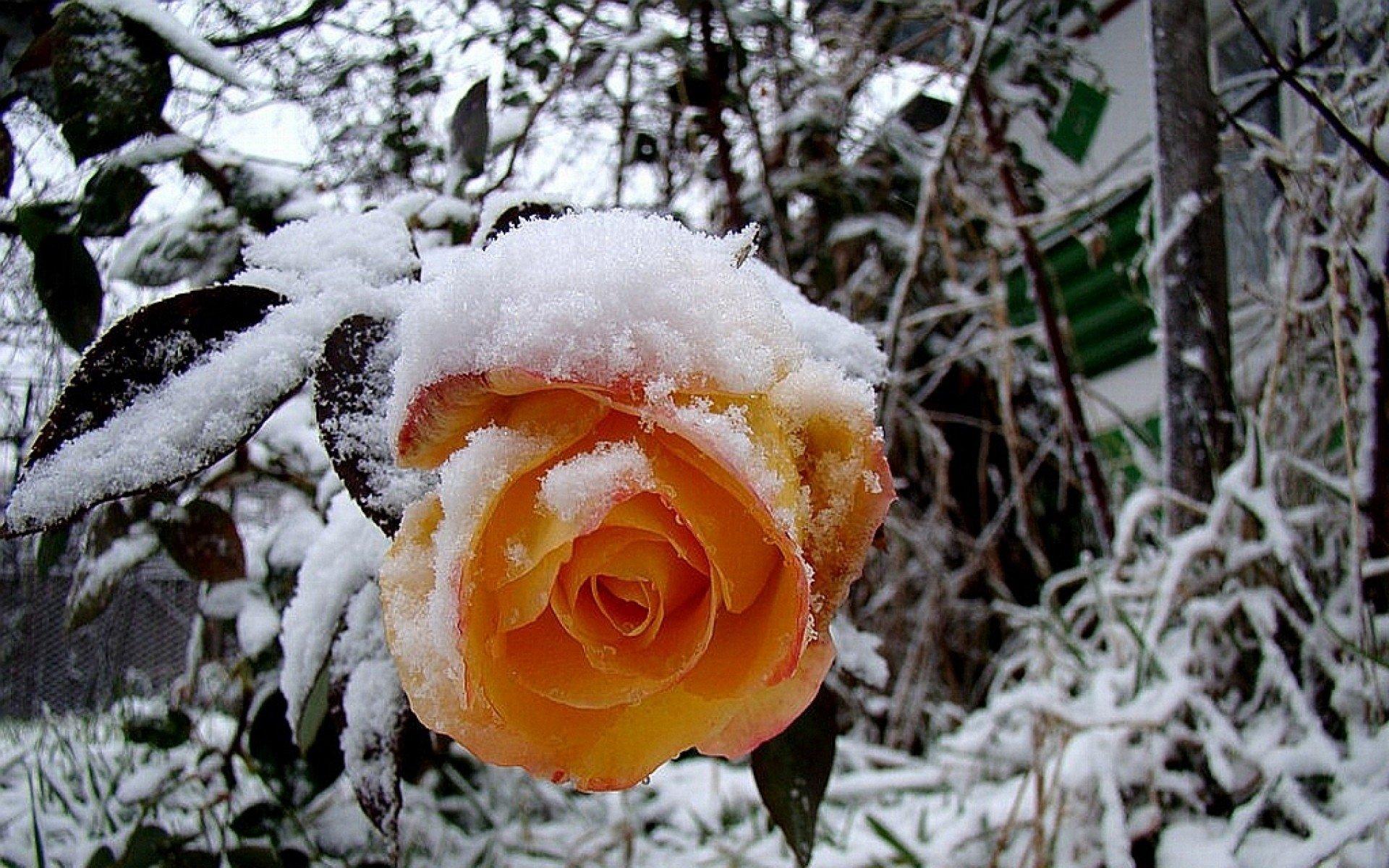 Обои для рабочего стола розы на снегу