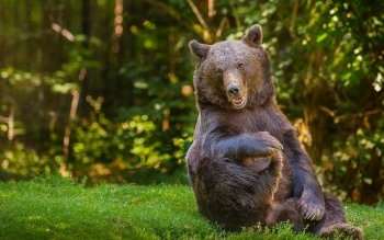 Animal - Bear Wallpapers and Backgrounds ID : 341088