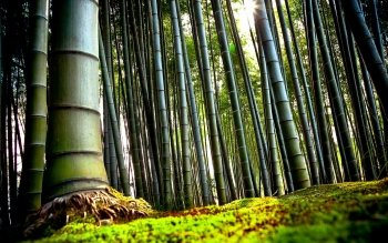 Tierra - Bamboo Wallpapers and Backgrounds ID : 341165