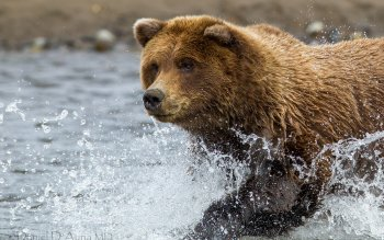Animal - Bear Wallpapers and Backgrounds ID : 341385