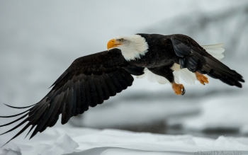 Animal - Eagle Wallpapers and Backgrounds ID : 341936