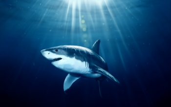 Animal - Shark Wallpapers and Backgrounds ID : 342353
