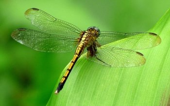 Animal - Dragonfly Wallpapers and Backgrounds ID : 343160