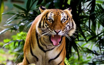 Animal - Tiger Wallpapers and Backgrounds ID : 343491