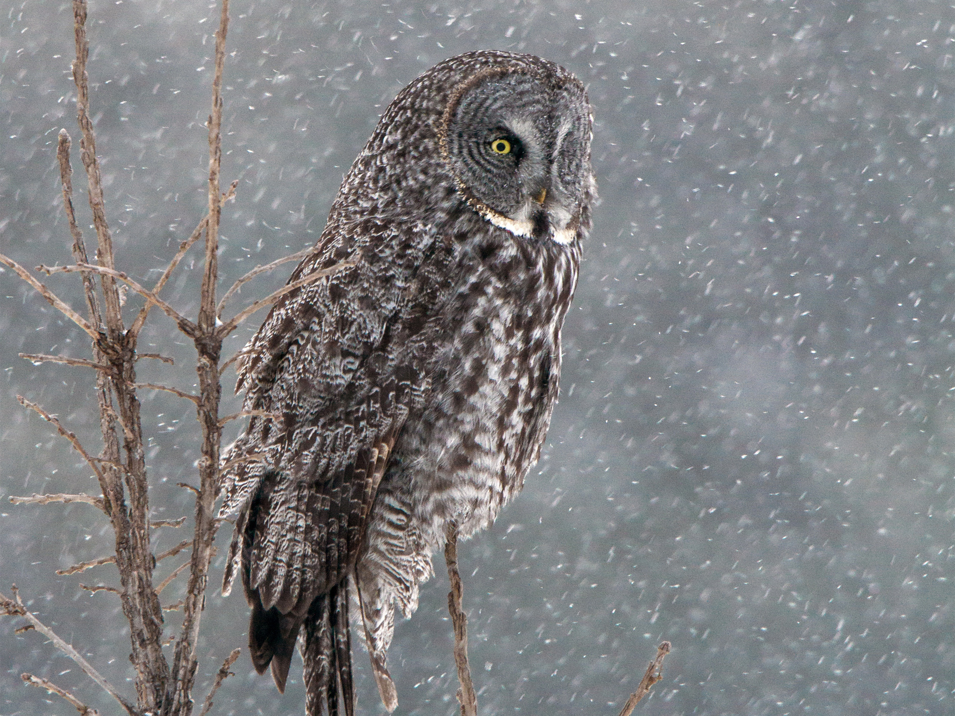 Great grey owl Full HD Wallpaper and Background ...
