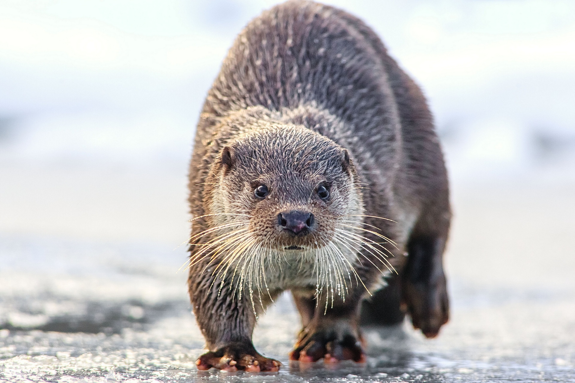 Otter Full HD Wallpaper and Background Image   1920x1280 ...