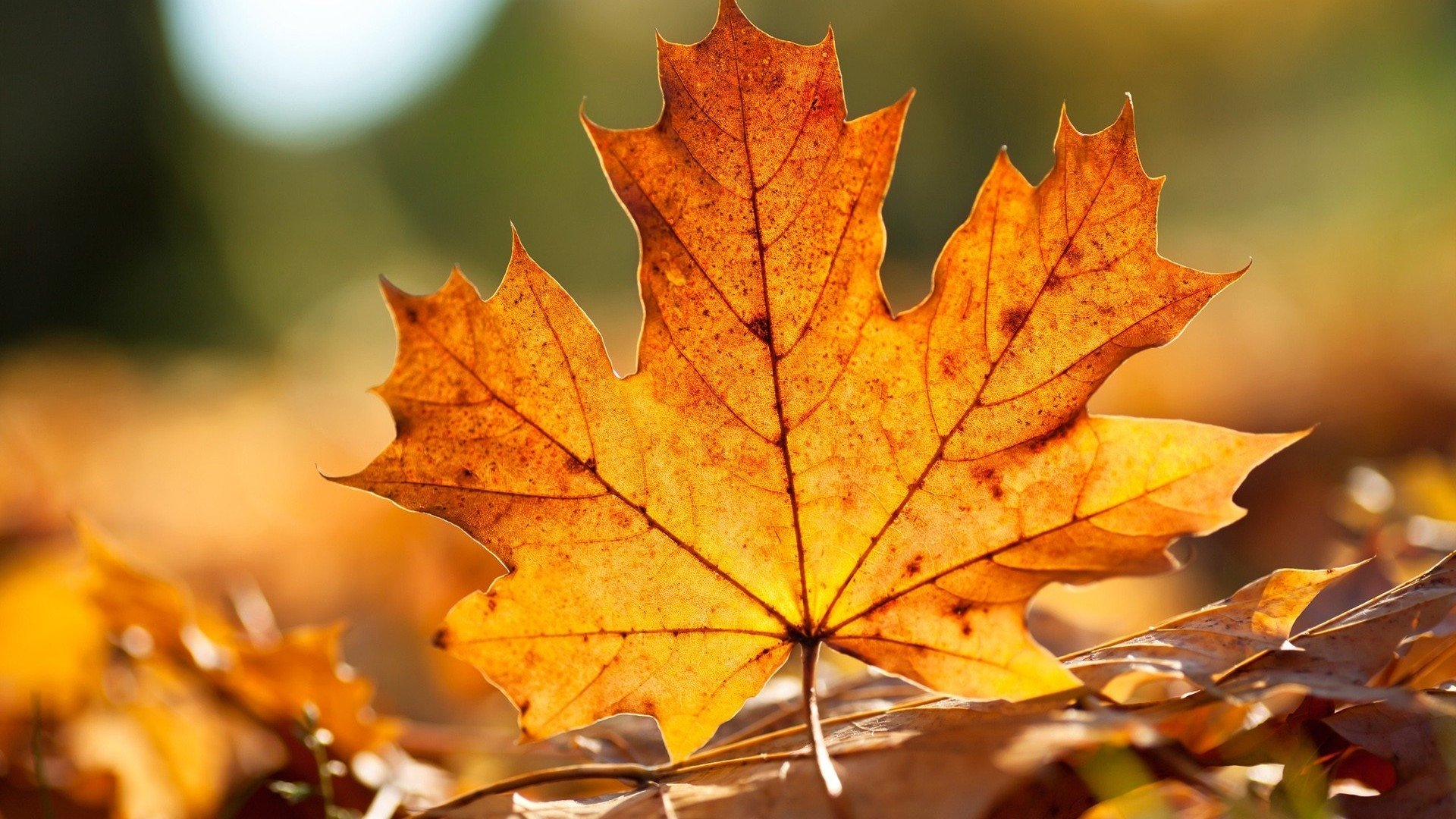 73 Maple Leaf Hd Wallpapers Background Images Wallpaper Abyss