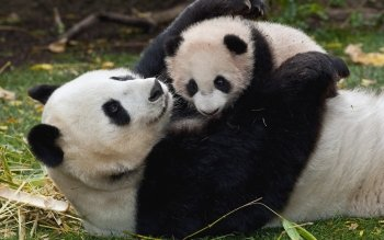 Animal - Panda Wallpapers and Backgrounds ID : 344124