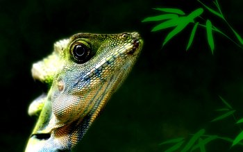 Animal - Iguana Wallpapers and Backgrounds ID : 344387