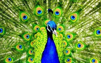 Animal - Peacock Wallpapers and Backgrounds ID : 345453
