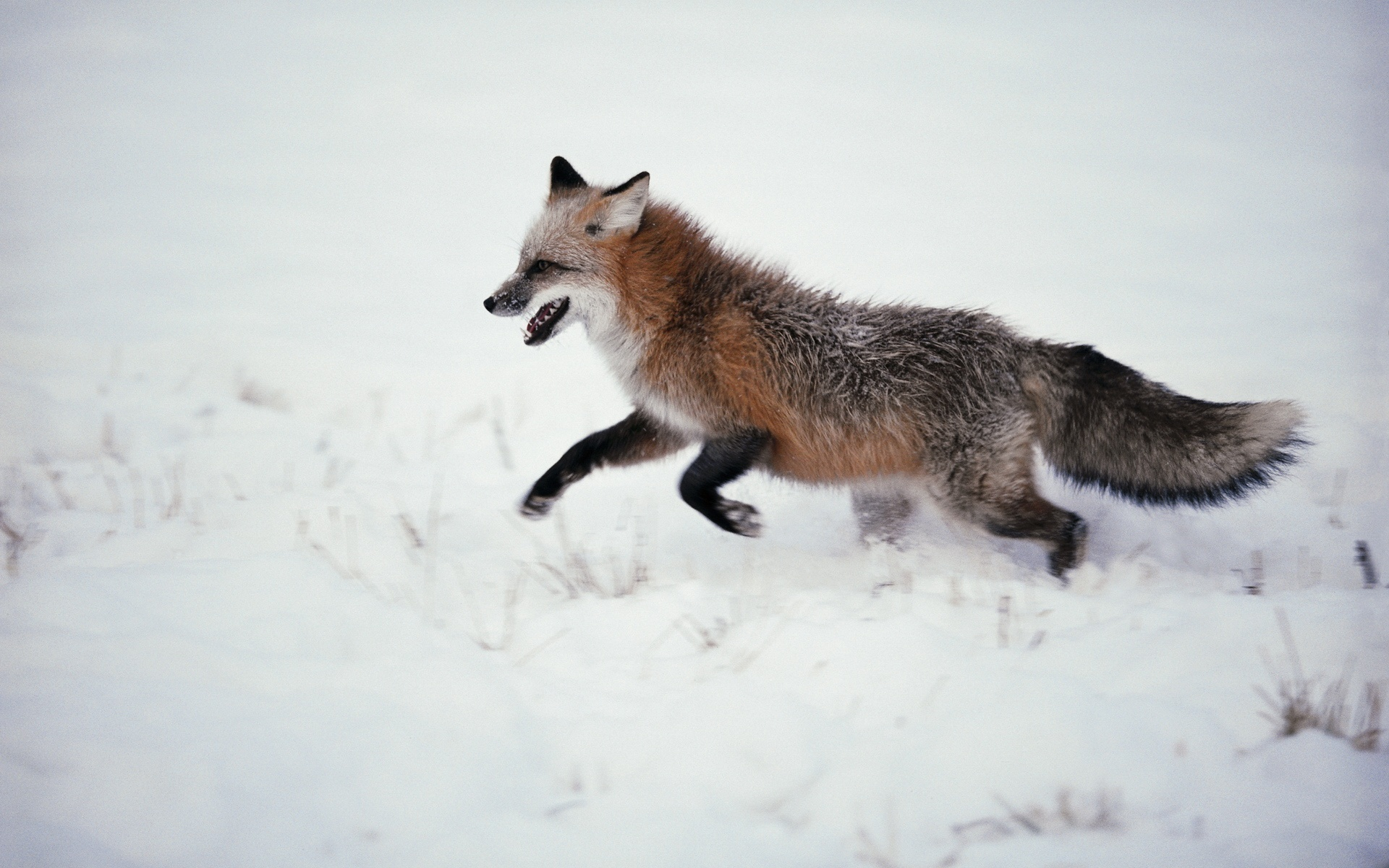 Fox Full HD Wallpaper and Background  1920x1200  ID:346200