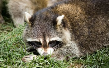 Animal - Raccoon Wallpapers and Backgrounds ID : 346196