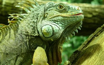 Animal - Iguana Wallpapers and Backgrounds ID : 346907