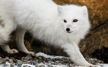 Animal - Arctic Fox Wallpapers and Backgrounds ID : 346941